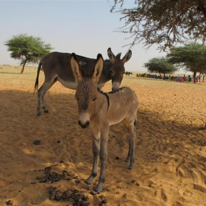Picture of donkey and her bat eared foal - A donkey is the 4 x 4 of Darfur