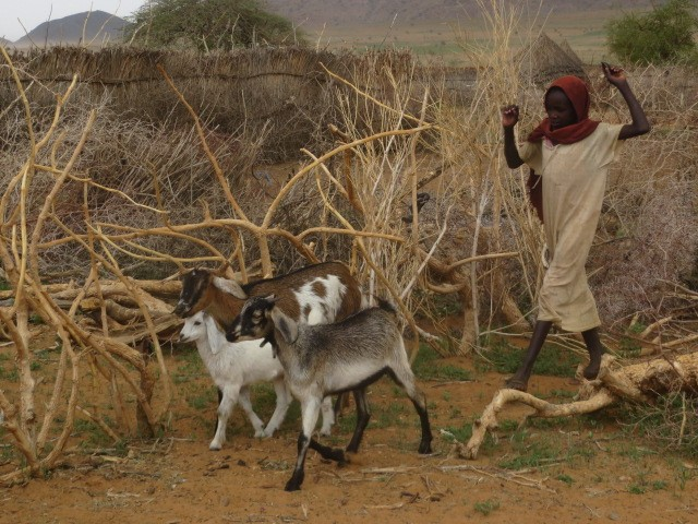 Hassina's Daughter with Goats